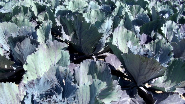ms field of red cabbage / koblenz, rhineland-palatinate, germany - red cabbage stock videos & royalty-free footage