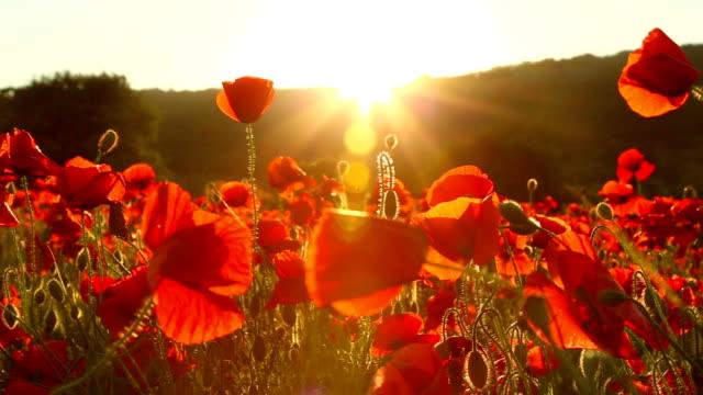 レッド poppies の夕暮れ時