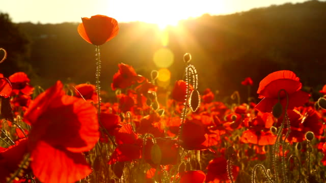 Campo de vermelho Papaveráceas ao pôr do sol