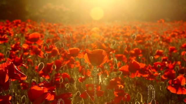 field of red poppies at sunset - memorial stock videos & royalty-free footage