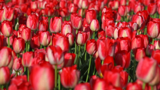 HD field of red tulips in Spring