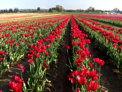 ms, field of red tulips, willamette valley, woodburn, oregon, usa - placca di montaggio fissa video stock e b–roll