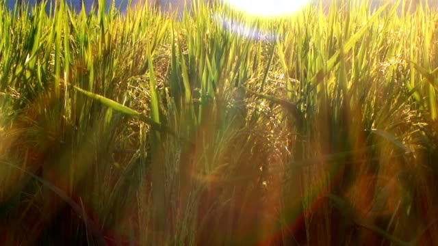 hd: field of rice shining by the low sun (video) - rice cereal plant stock videos & royalty-free footage