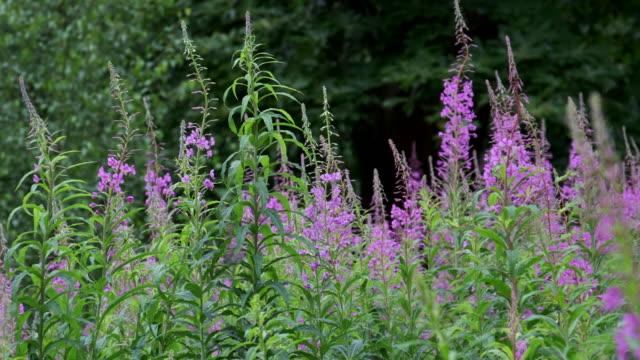 a field of rosebay willowherb - wildflower stock videos & royalty-free footage