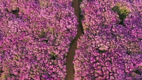 field of royal azaleas in hwangmaesan mountain / hapcheon-gun, gyeongsangnam-do, south korea - footpath stock videos & royalty-free footage