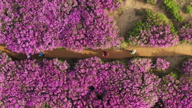 field of royal azaleas in hwangmaesan mountain / hapcheon-gun, gyeongsangnam-do, south korea - heather stock videos & royalty-free footage