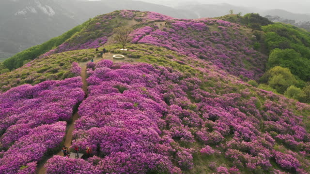 field of royal azaleas in hwangmaesan mountain / hapcheon-gun, gyeongsangnam-do, south korea - dramatic landscape stock videos & royalty-free footage