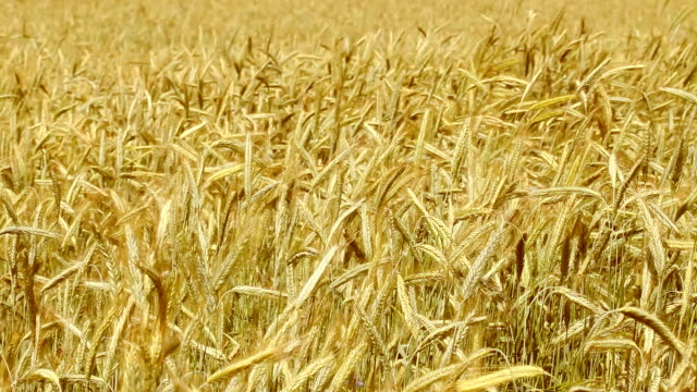 Field von rye