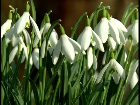 field of snowdrops - snowdrop stock videos and b-roll footage