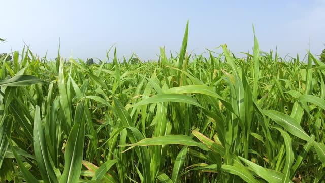 field of sorghum near vrindavan, uttar pradesh, india - sorghum stock videos & royalty-free footage