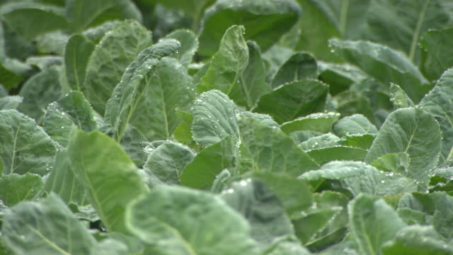 stockvideo's en b-roll-footage met field of spinach greens - spinazie