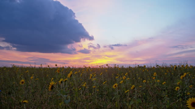 ds field of sunflowers at sunset - sunflower stock videos and b-roll footage