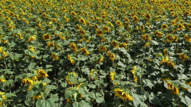 field of sunflowers, auvergne, puy de dome, france - モンペリエ点の映像素材/bロール