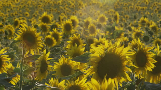 MS Field of sunflowers / Carmona, Andalusia, Spain