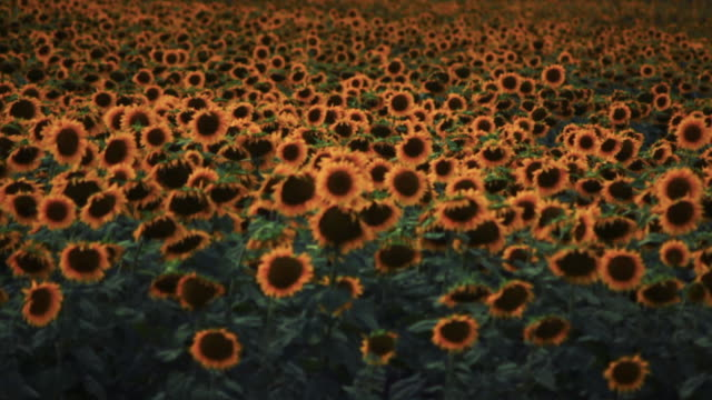 field of sunflowers in argentina - temperate flower stock videos and b-roll footage