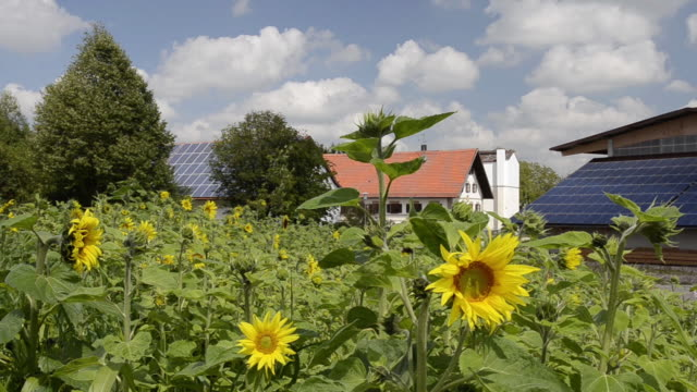 MS Field of sunflowers in front of solar panels on farmhouse roof  / Mainburg, Bavaria, Germany