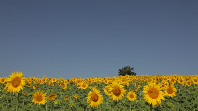 ws field of sunflowers swaying in breeze / tuscany, italy - sunflower stock videos and b-roll footage
