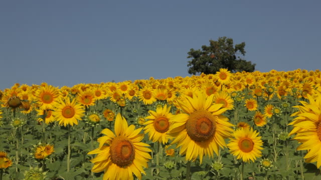 ws pan field of sunflowers swaying in breeze / tuscany, italy - sunflower stock videos and b-roll footage