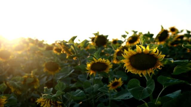 フィールドの sunflowers - ネイチャーズウィンドウ点の映像素材/bロール