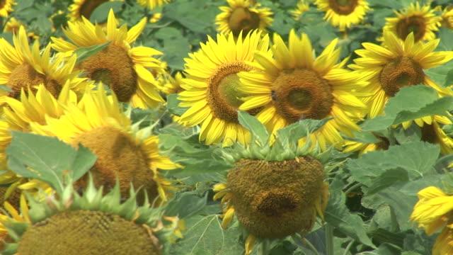 HD: Field of sunflowers