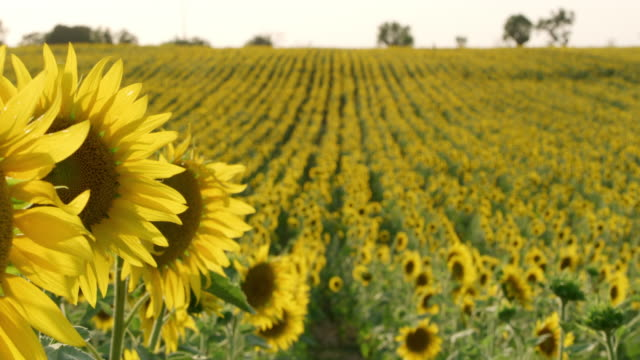 ds field of sunflowers - selective focus stock videos & royalty-free footage