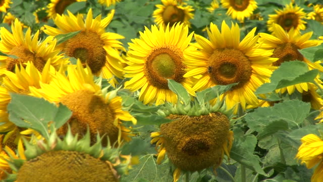 hd: field of sunflowers - common sunflower stock videos & royalty-free footage