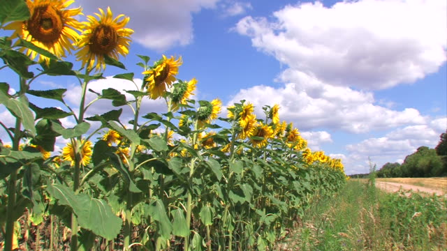vídeos de stock e filmes b-roll de campo de sunflowers - estame