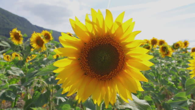 MS Field of sunflowers waving in wind / Pamplona, Navarre, Spain