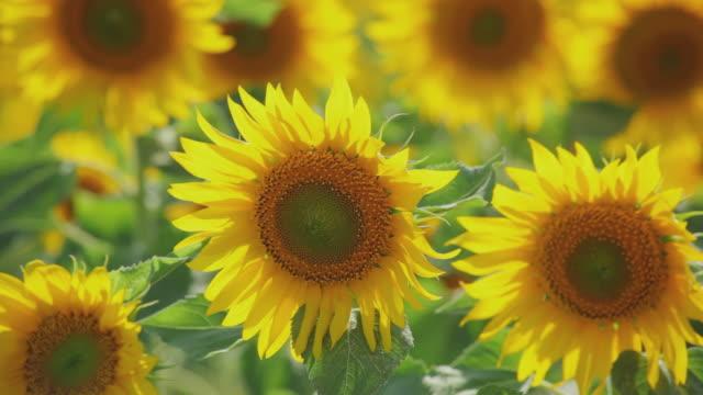 CU Field of sunflowers waving in wind / Pamplona, Navarre, Spain
