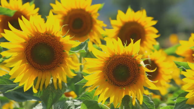 vidéos et rushes de cu field of sunflowers waving in wind / pamplona, navarre, spain - tige d'une plante