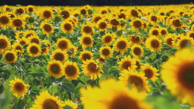 vídeos de stock, filmes e b-roll de ws pan field of sunflowers waving in wind / pamplona, navarre, spain - girassol