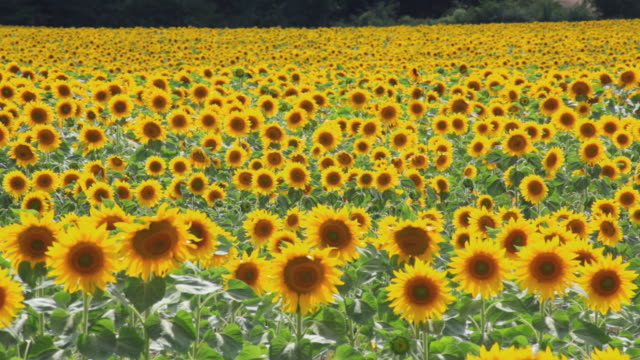 ws field of sunflowers waving in wind / pamplona, navarre, spain - sunflower stock videos and b-roll footage