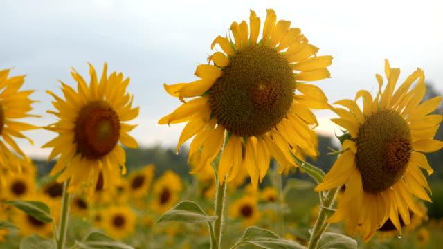 Feld von Sonnenblumen mit sky