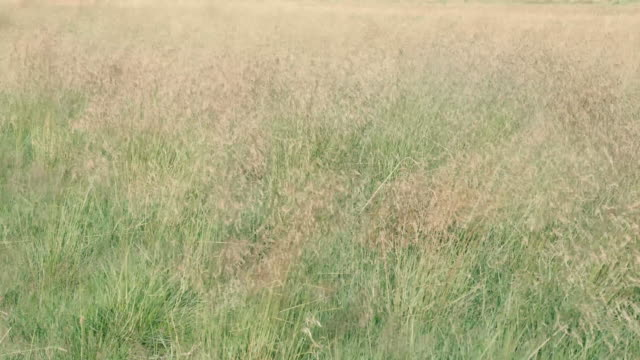 a field of tall grass sways in the breeze in northern ireland - idyllic stock videos & royalty-free footage