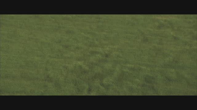 ws, ha, field of tall green grass blowing in wind  - erba video stock e b–roll