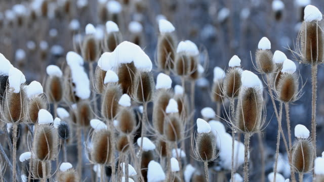 field of thistle with snow on top of their heads blowing in the light breeze - thistle stock videos & royalty-free footage