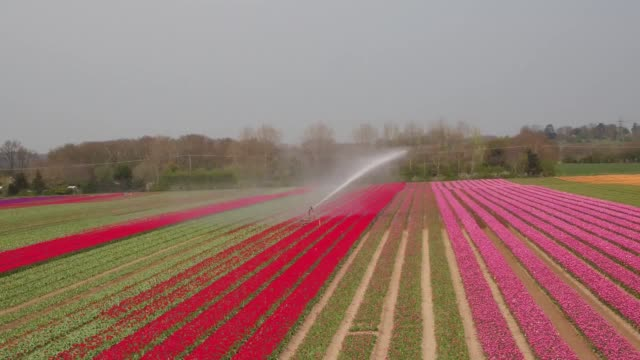 vídeos de stock, filmes e b-roll de a field of tulips in bloom near the village of east winch in norfolk the colourful collection becomes a picturesque site every spring - norfolk east anglia