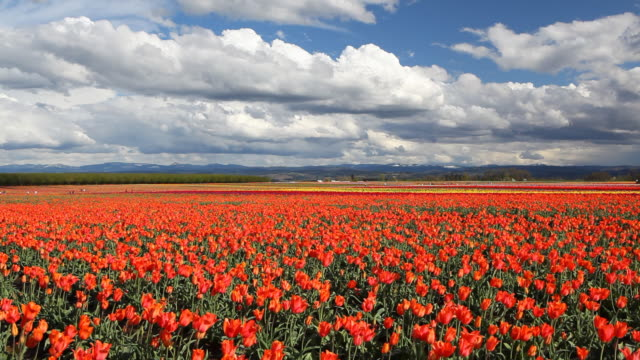 hd field of tulips in spring - tulip stock videos and b-roll footage