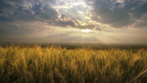 vidéos et rushes de field of wheat at dawn, palouse,  washington - champ