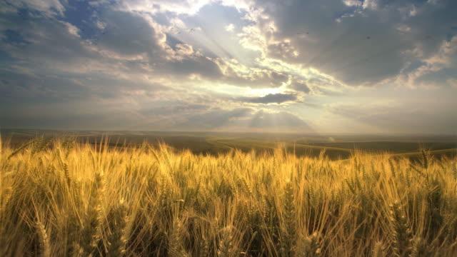 field of wheat at dawn, palouse,  washington - orzo video stock e b–roll