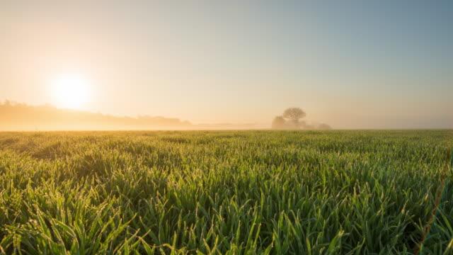 8K T/L Field of wheat at sunrise