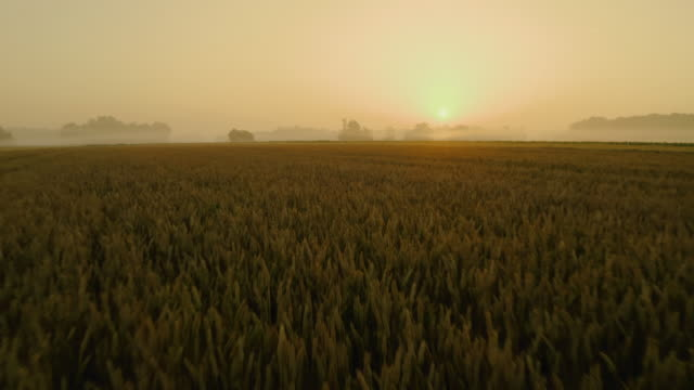 aerial field of wheat at sunset - wide shot stock videos & royalty-free footage