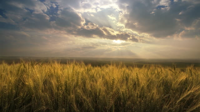 vídeos de stock e filmes b-roll de field of wheat at sunset, washington - horizonte