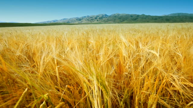 vídeos de stock e filmes b-roll de field of wheat in summer - objeto pontudo