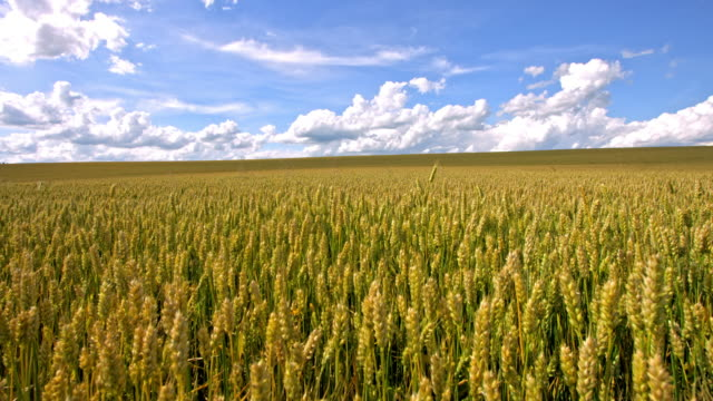 ds field of wheat swaying in the wind - barley stock videos and b-roll footage