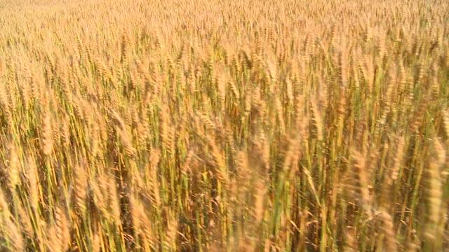 HD CRANE: Field of wheat