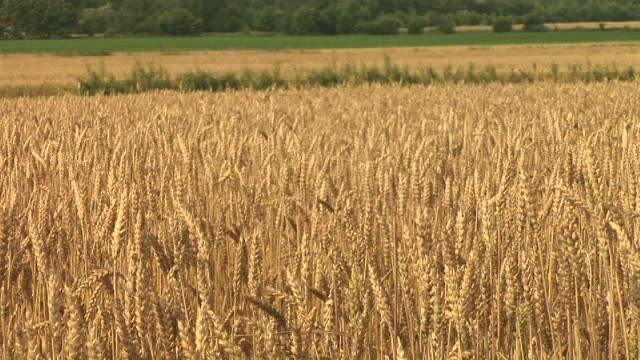 hd: field of wheat - monoculture stock videos & royalty-free footage