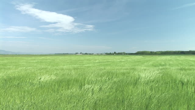 hd: field of wheat - wind stock videos & royalty-free footage