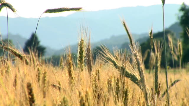 hd: field of wheat - image focus technique stock videos & royalty-free footage