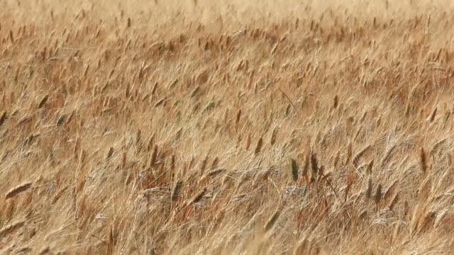 stockvideo's en b-roll-footage met field of wheat - volkorentarwe